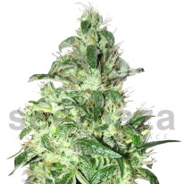Auto Northern Lights feminised