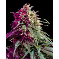 Purple Kush Feminised