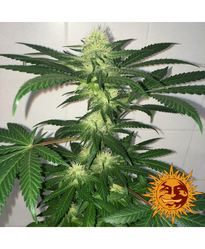 Auto Critical Kush Feminised