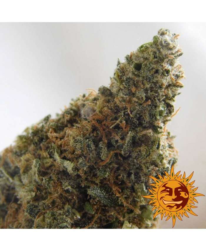 Violator Kush Feminised