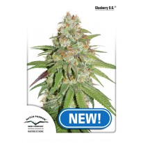 Glueberry OG feminised