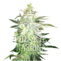 Auto Smooth Haze Feminised