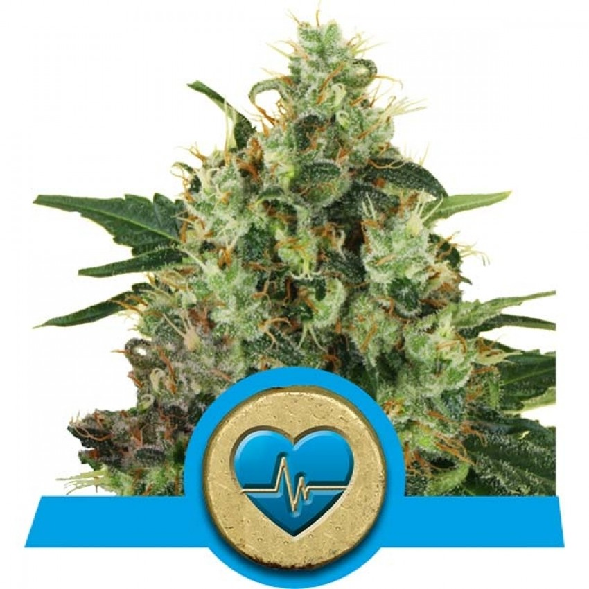 Medical Mass CBD feminised