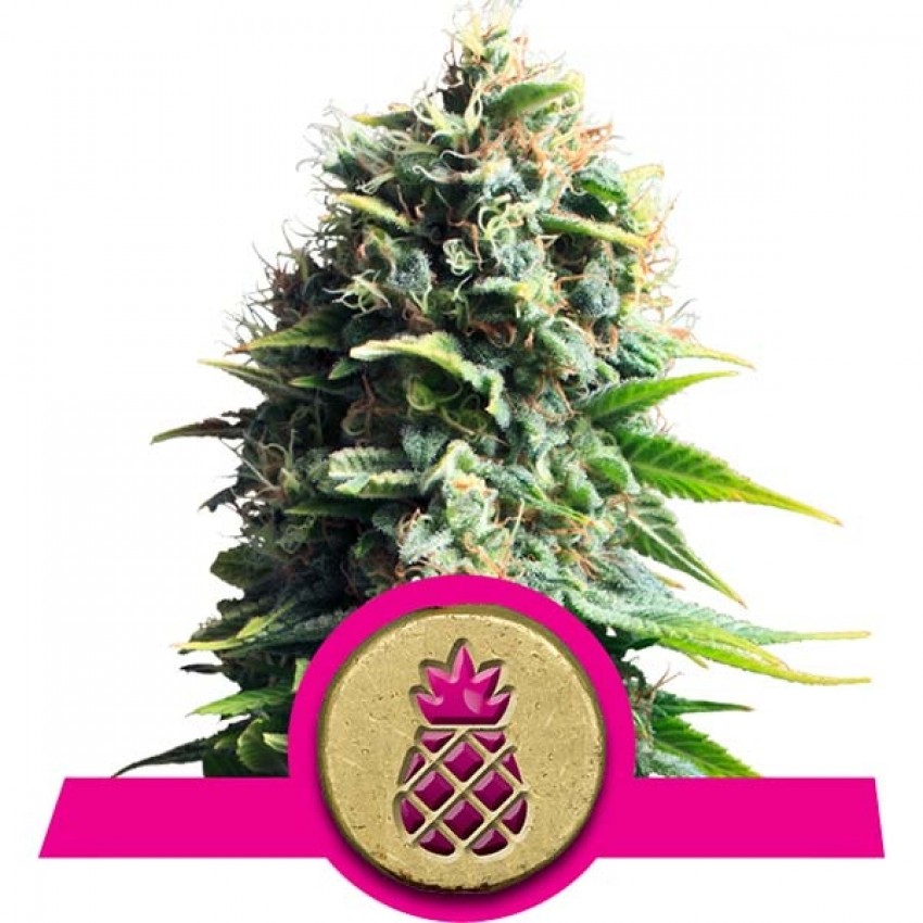 Pineapple Kush feminised