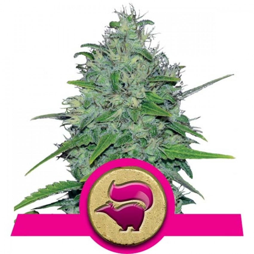 Skunk XL Feminised