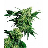 Mr. Nice G13 X Hash Plant