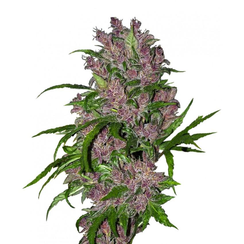 Auto Purple Bud Feminised
