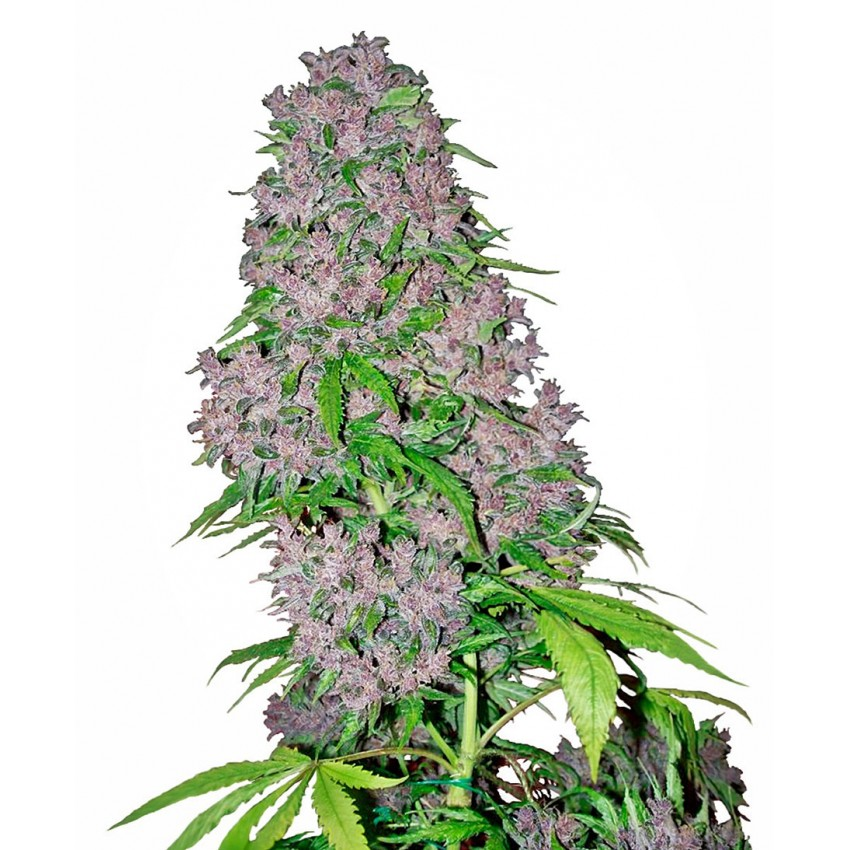 Purple Bud Feminised