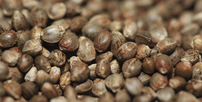 Семена конопли поштучно